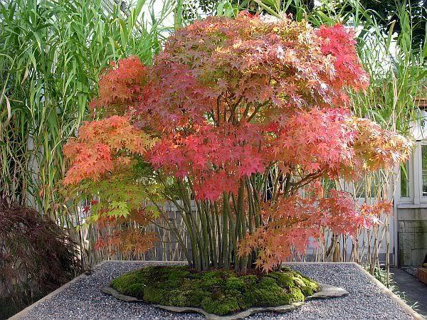 Acer Palmatum Japanese Sunrise I Love This Plant Large And Small