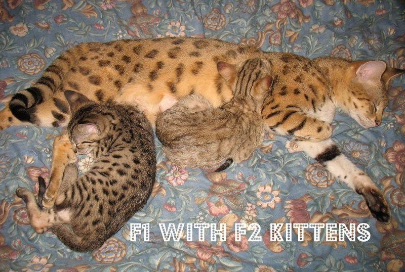 F1 Vs F2 Vs F3 Vs F4 Savannahs In Canada Savannah Cat Cats