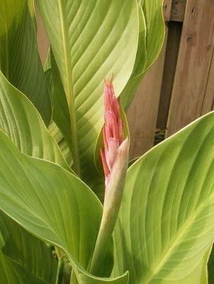 Garden Answers Plant Identification App Plant Identification Plants Canna Flower
