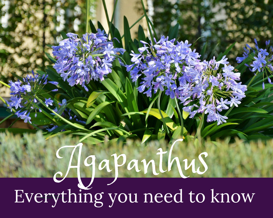 How To Care For Agapanthus Gardenologist Agapanthus In Pots Agapanthus Agapanthus Care