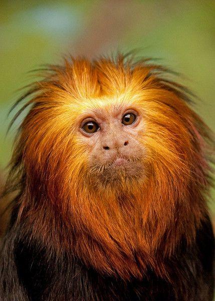 golden lion tamarin!!!!!!!! I love monkeys!!!