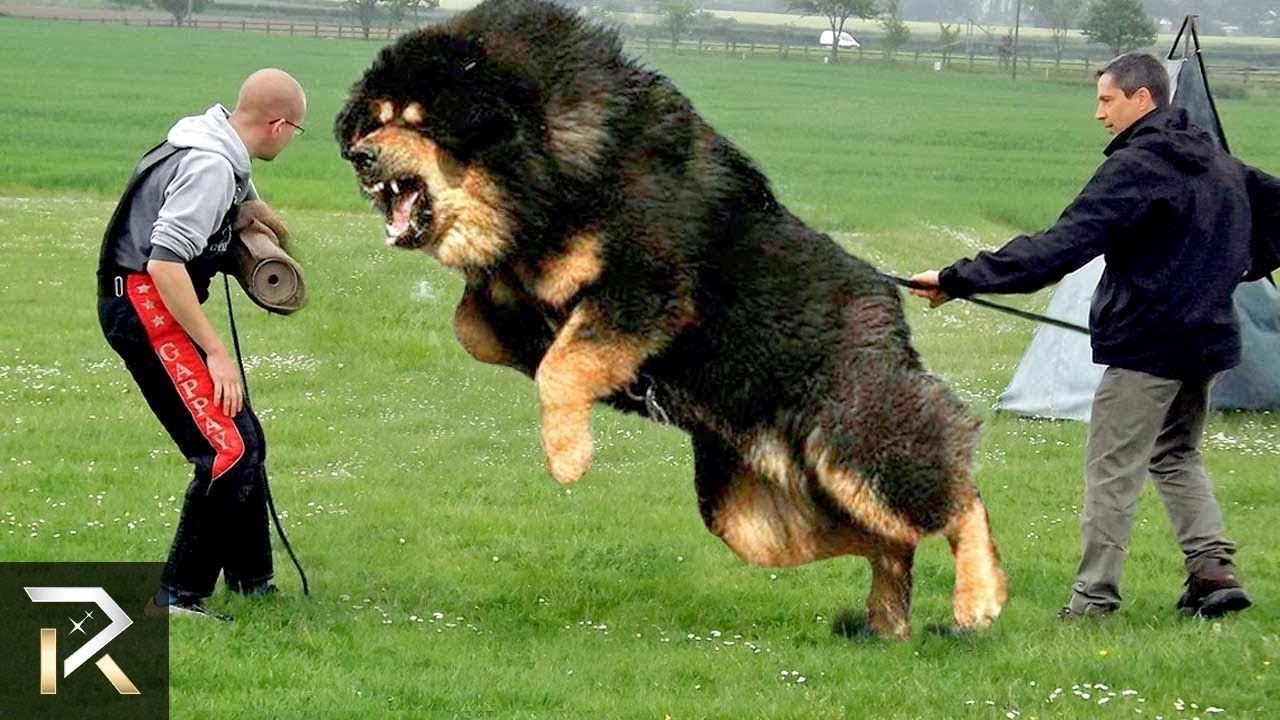 Terrifying ATTACK DOGS You Don't MESS With https//www