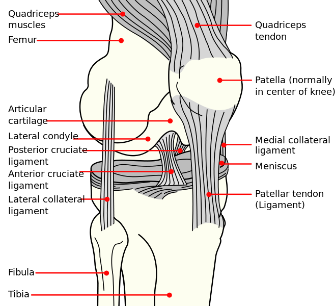 knee anatomy - knee pain - runners knee. exercises to help, Human Body
