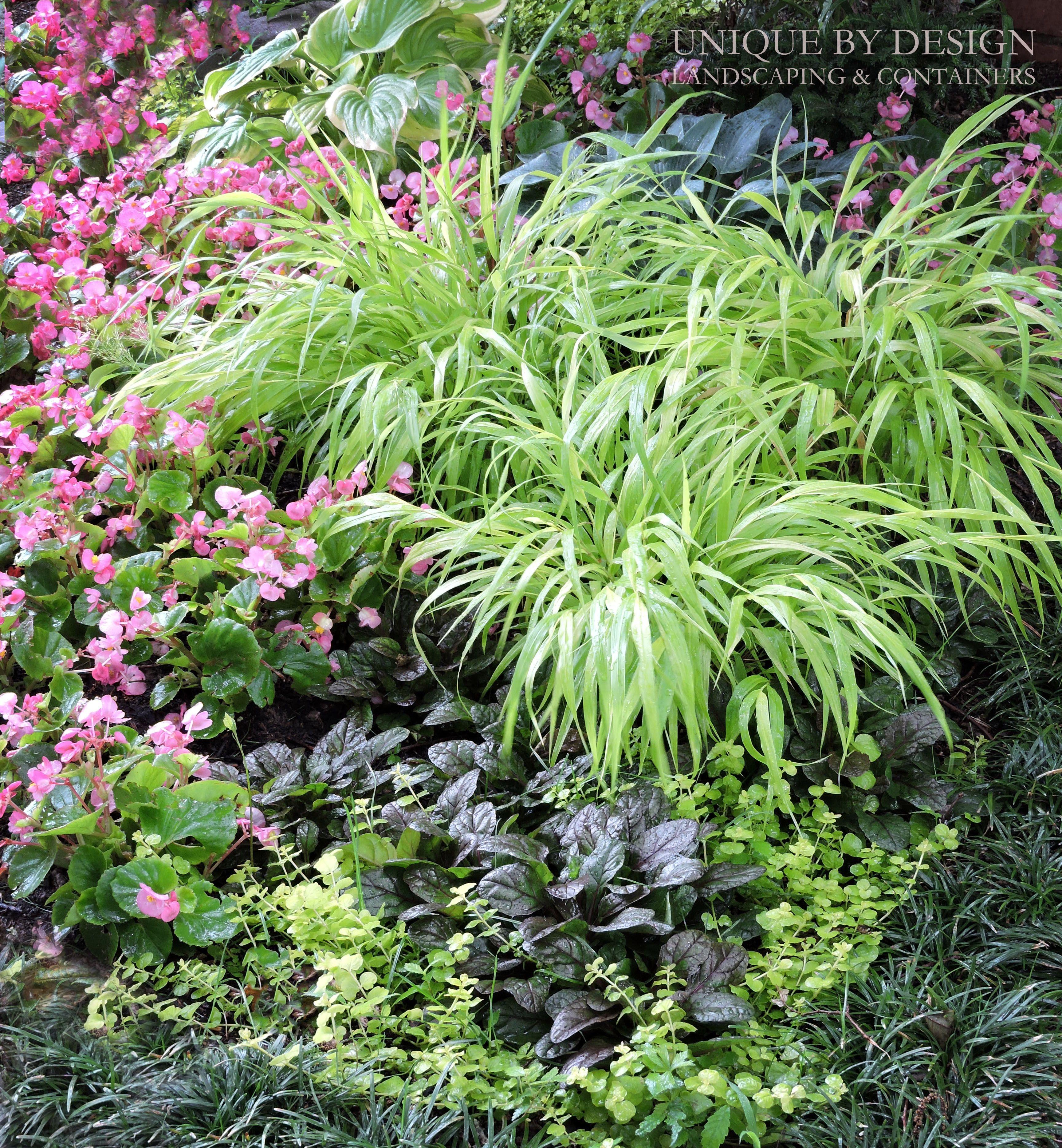 Alberi Ornamentali Da Giardino japanese forest grass l hakonechloa macra 'all gold'