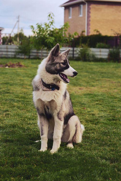 Akita Siberian Husky Mix Dogsandpupsdaily With Images