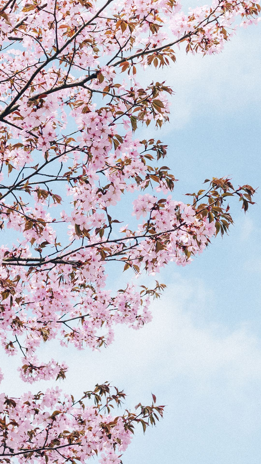 A Cherry Blossom Wallpaper You Can Use To Brighten Up Your Phone Achtergronden Afbeeldingen Boom Behangpapier
