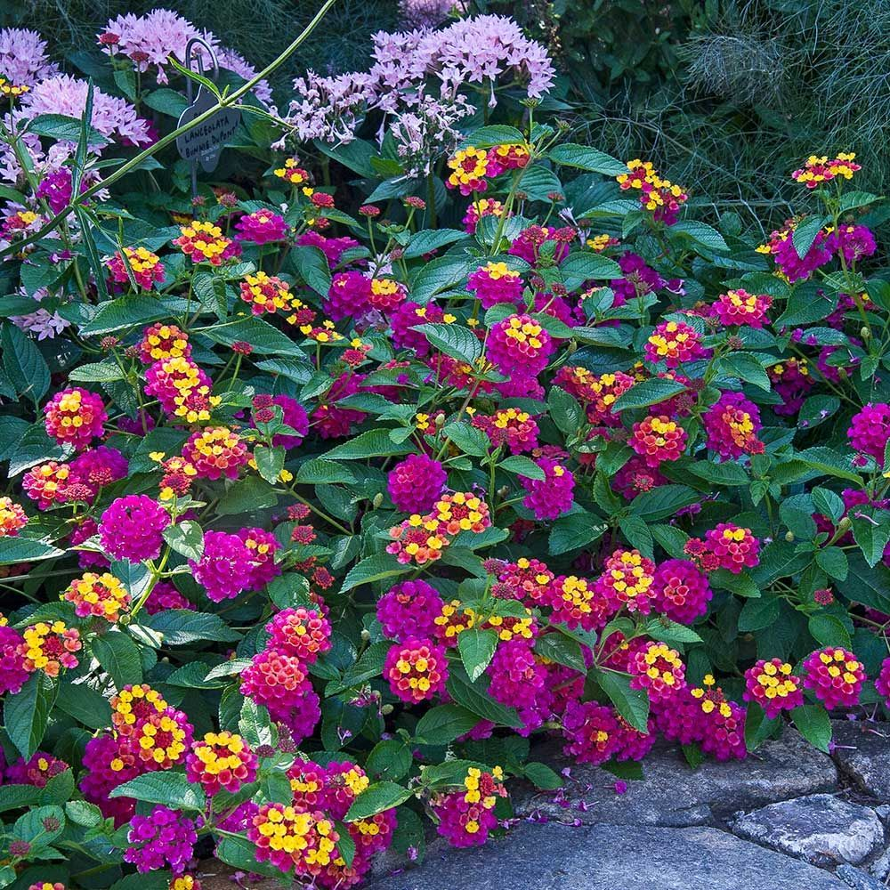 Apricot Allegro Annual Collection Flower Garden Plants Lantana
