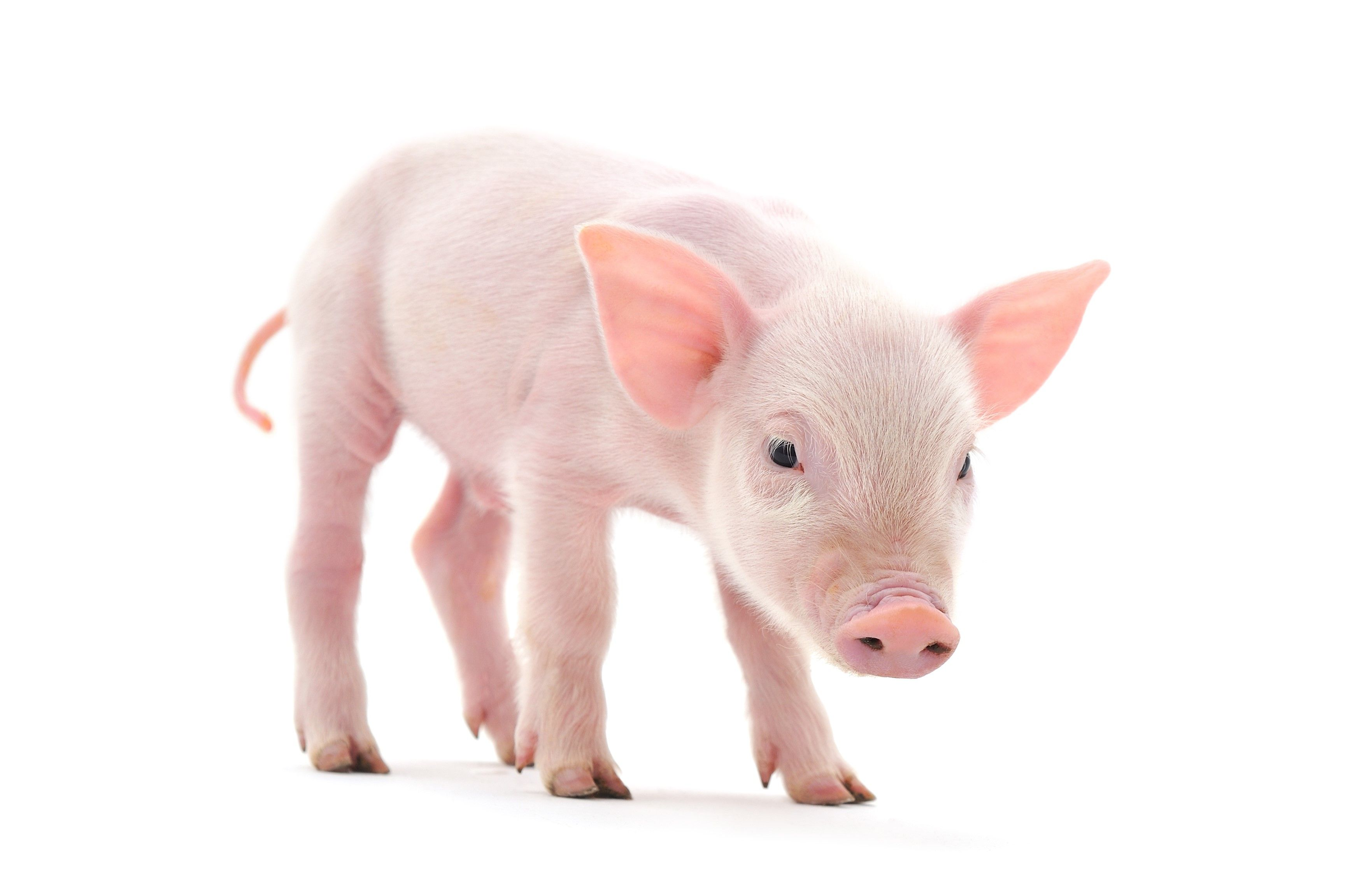 Image result for baby pig side view Pig, Animals