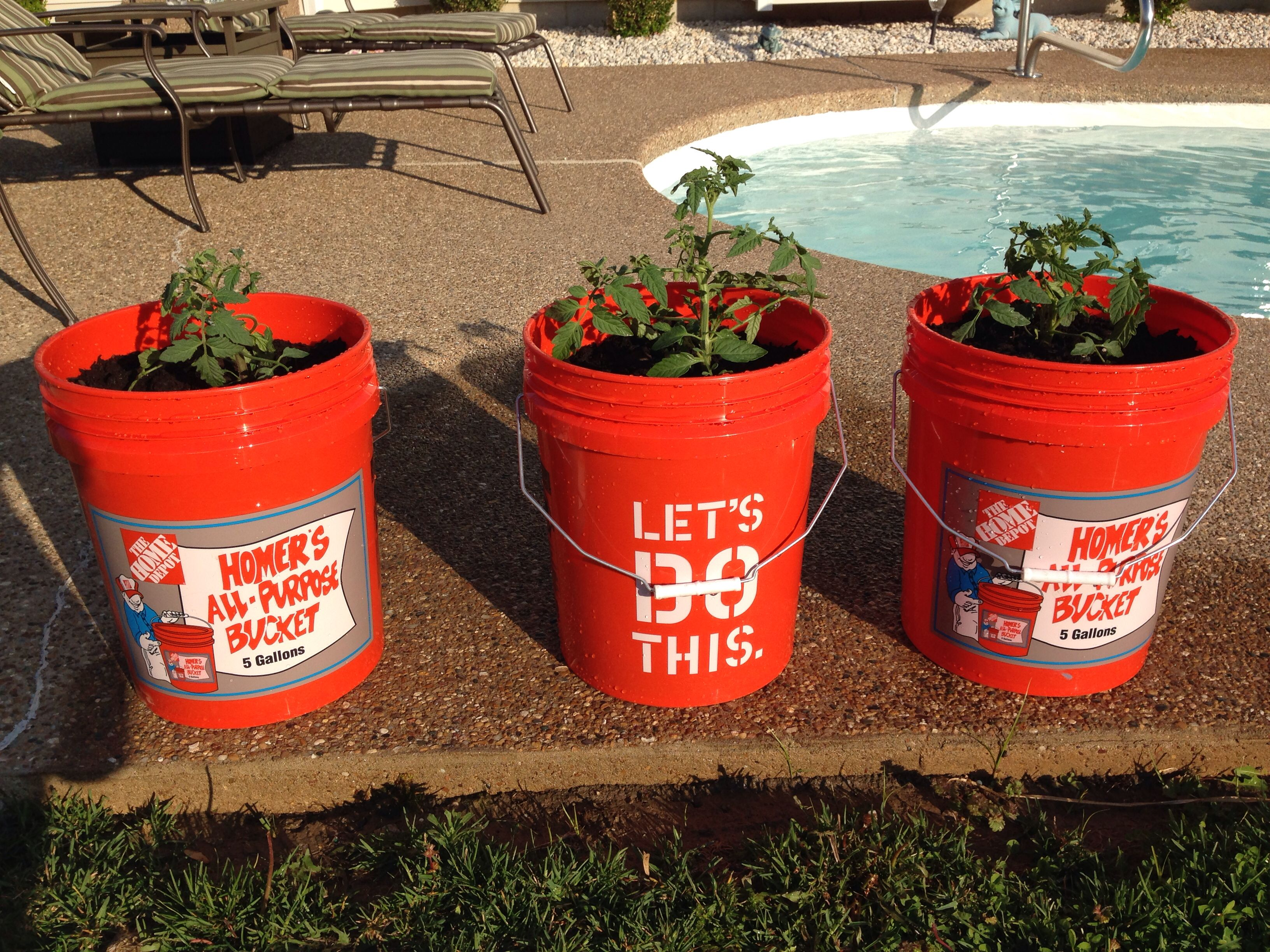 Tomato plants for the patio