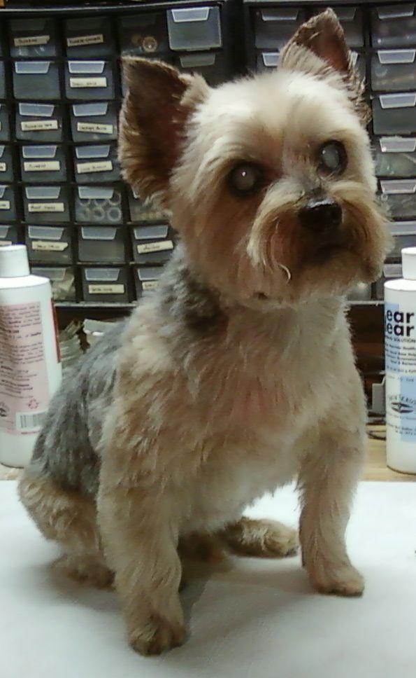 Mojo Senior Yorkie Very Short Pet Clip Yorkie Dog Haircuts Pets