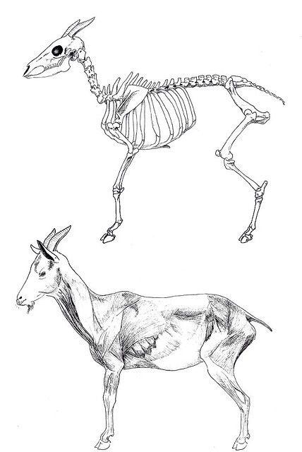 Squelette | Esqueleto | Pinterest | Anatomía, Anatomía animal y Cabras
