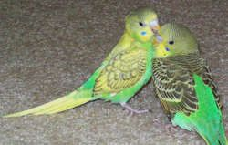 Budgie Varieties with Different Markings | Budgies White ...