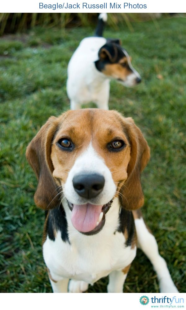 Beagle Jack Russell Mix Photos Dog Breeds Dogs Terrier