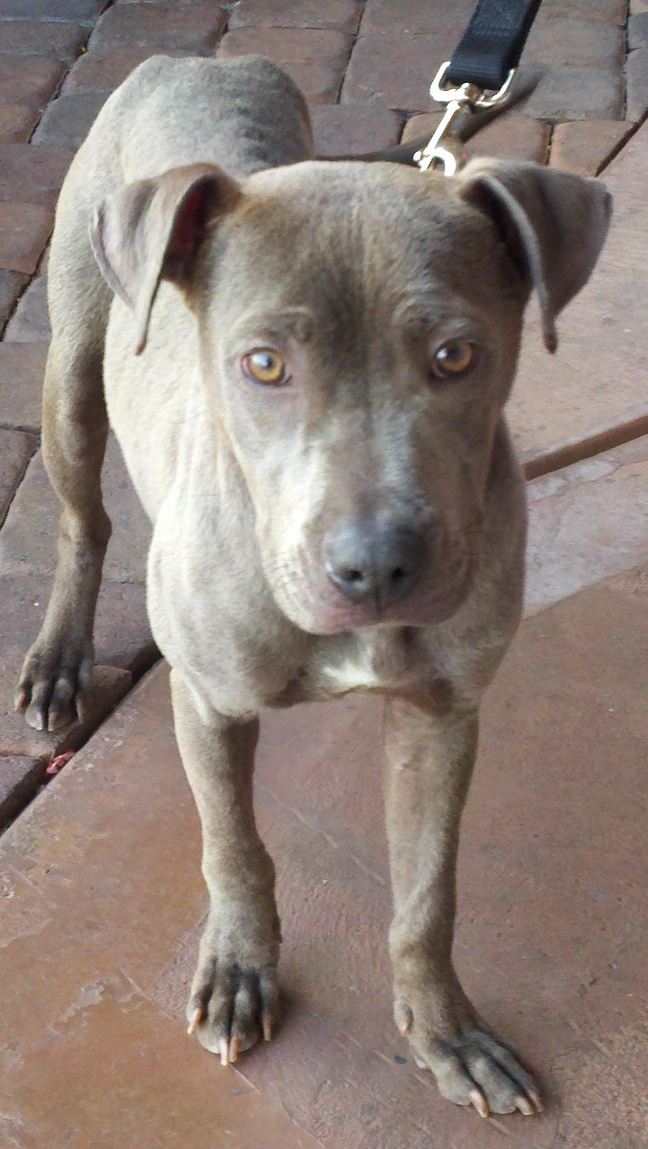 Ashley Png 920 1632 Weimaraner Greyhound Dogs