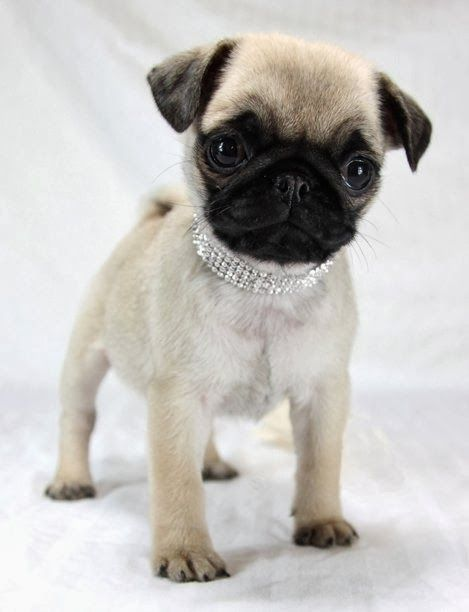 Benny Bully S Pet Treats Nutritious Pure And Natural Baby Pugs