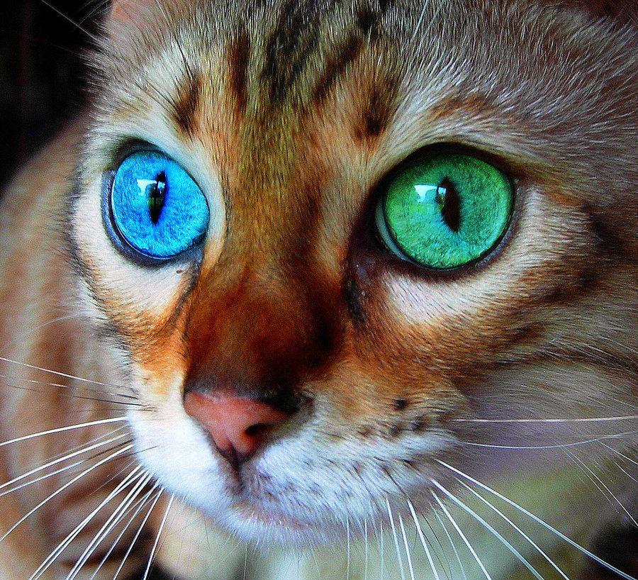 chat yeux vairons bleu et vert h las ce n 39 est qu 39 une. Black Bedroom Furniture Sets. Home Design Ideas