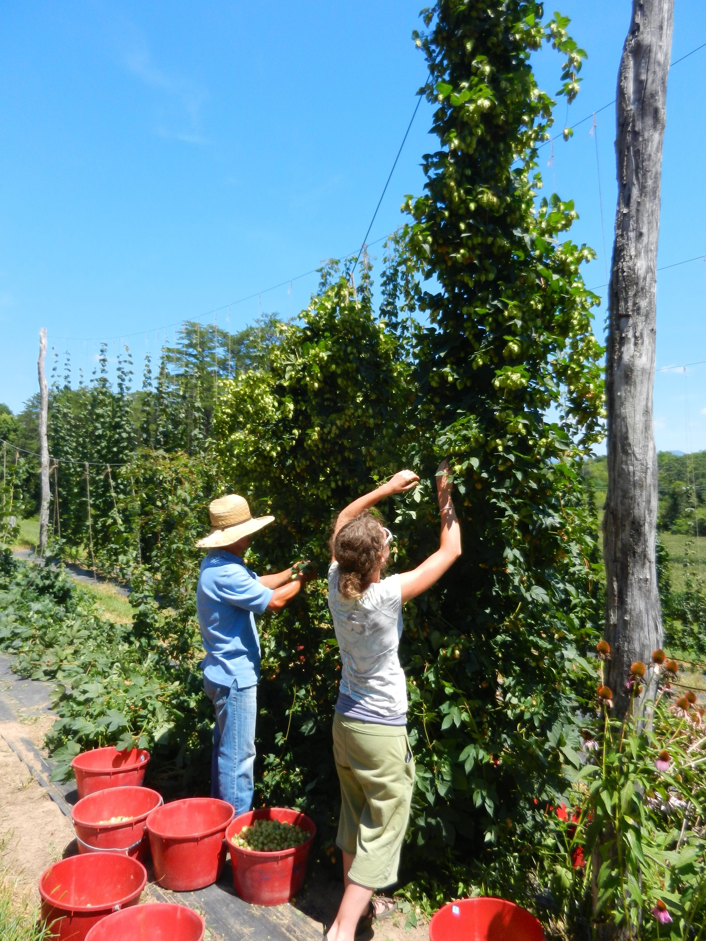 North Carolina Hops Project NC State Soil Science Soil