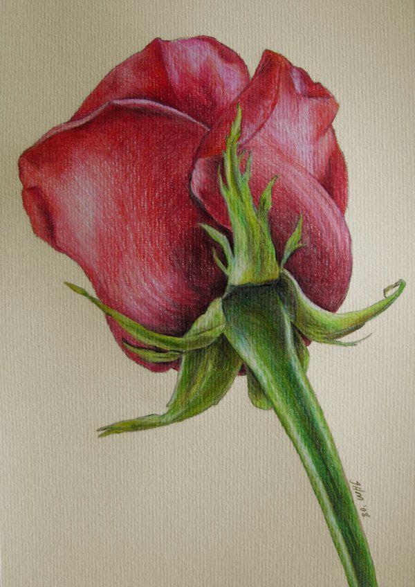 rosas a lapiz  Buscar con Google  Mis rosas  Pinterest  Lpiz