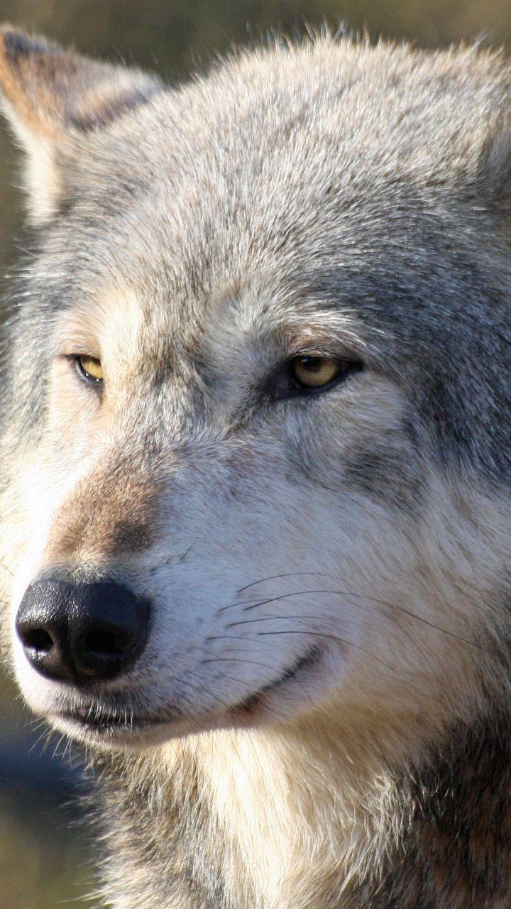 Скачать 720x1280 Волк, морда, хищник, взгляд обои ...
