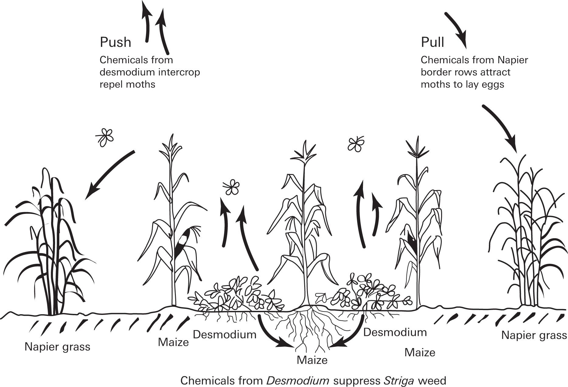 Push Pull System For Pest And Weed Suppression In Tropical