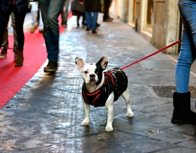 French Bulldog in Rome.  All dressed up for Christmas!