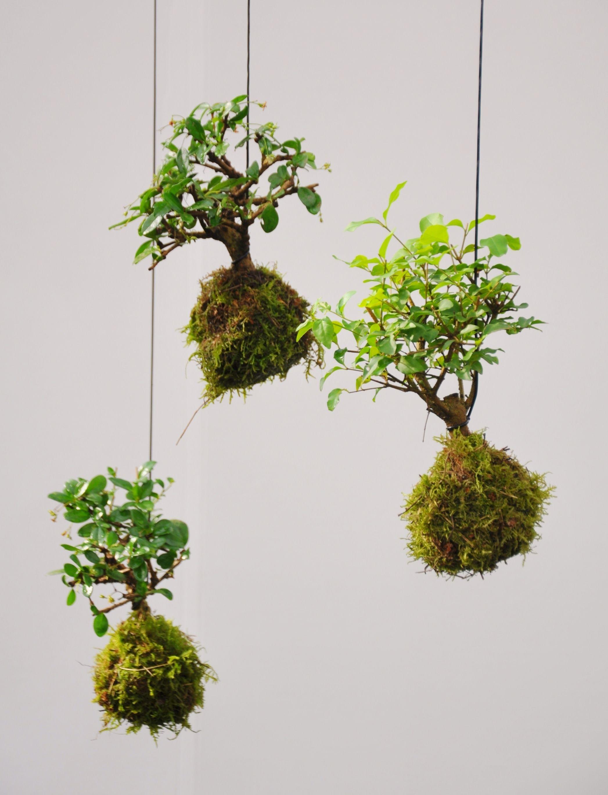 kokedama bonsai moosball the garden pinterest. Black Bedroom Furniture Sets. Home Design Ideas