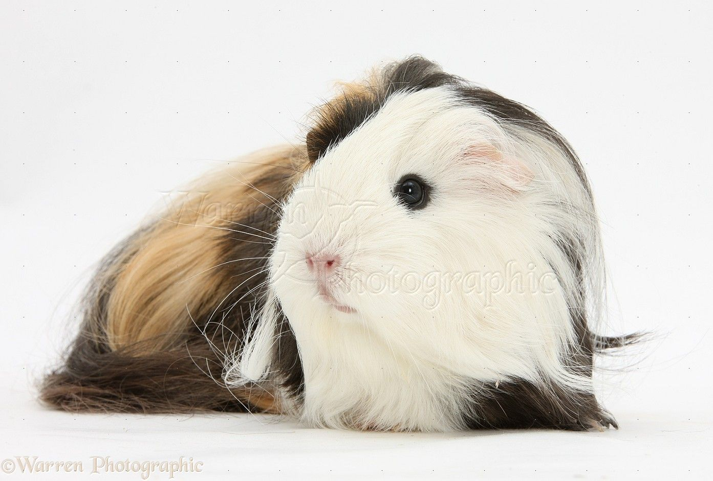 Long haired guinea pig - photo#39