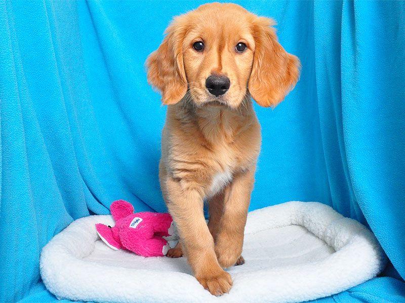 GOLDEN RETRIEVER female Golden retriever, Puppies, Retriever