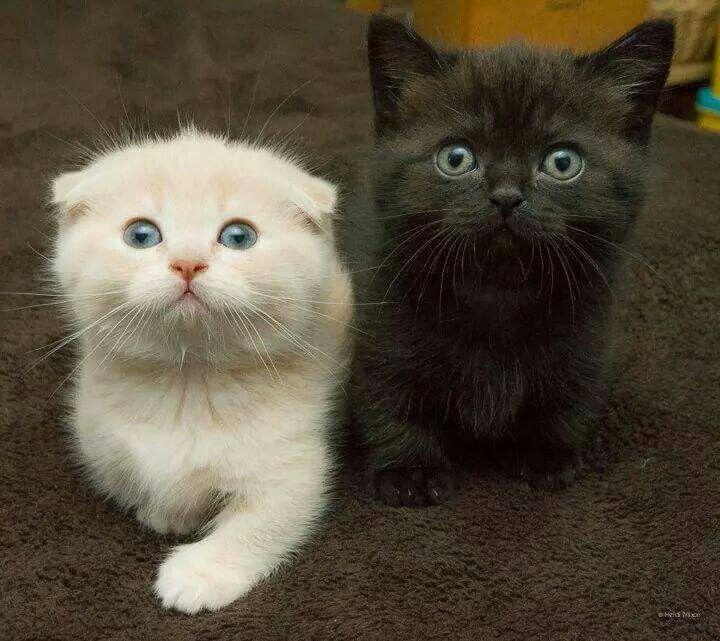 ROWENA: Ebony kittens