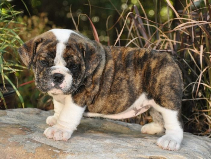 Chow Dogs Tiger Striped Puppy Click Small Images Above To View