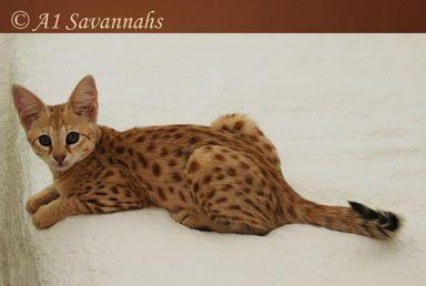 F1 Savannah Cats And Kittens For Sale A1 Savannahs Europe