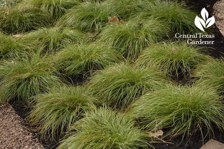 Texas Sedge Carex Texensis This Looks Great Planted In Masses