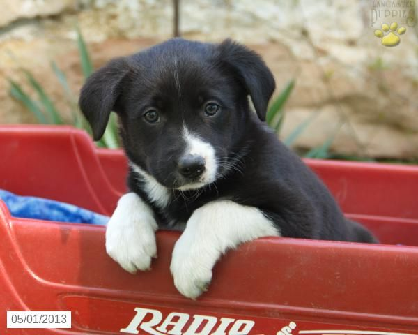 Border Collie Puppy For Sale Mcclure Pa Dawn Collie Puppies