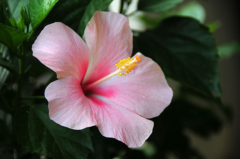 Pictures Of Flowers Tropical Hibiscus Hibiscus Flowers Flowers Hibiscus