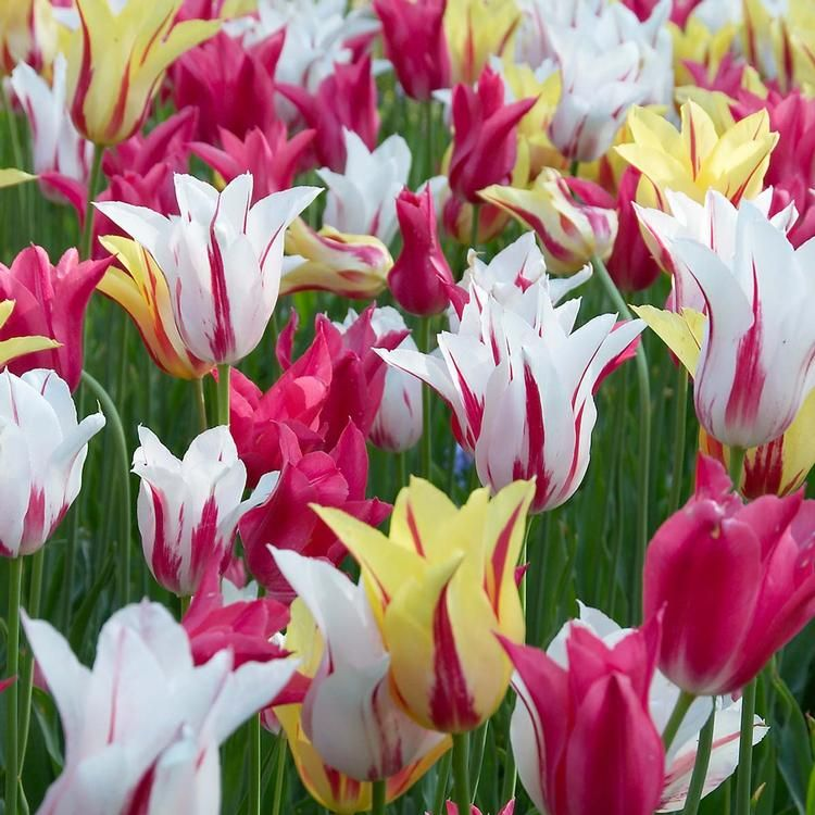 Pin By Franceseattle On Tulips Spring Blooming Flowers Flower Seeds Tulip Bulbs For Sale