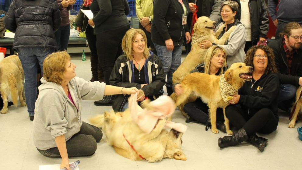 Charity Flies Stray Golden Retrievers From Turkey To Canada To