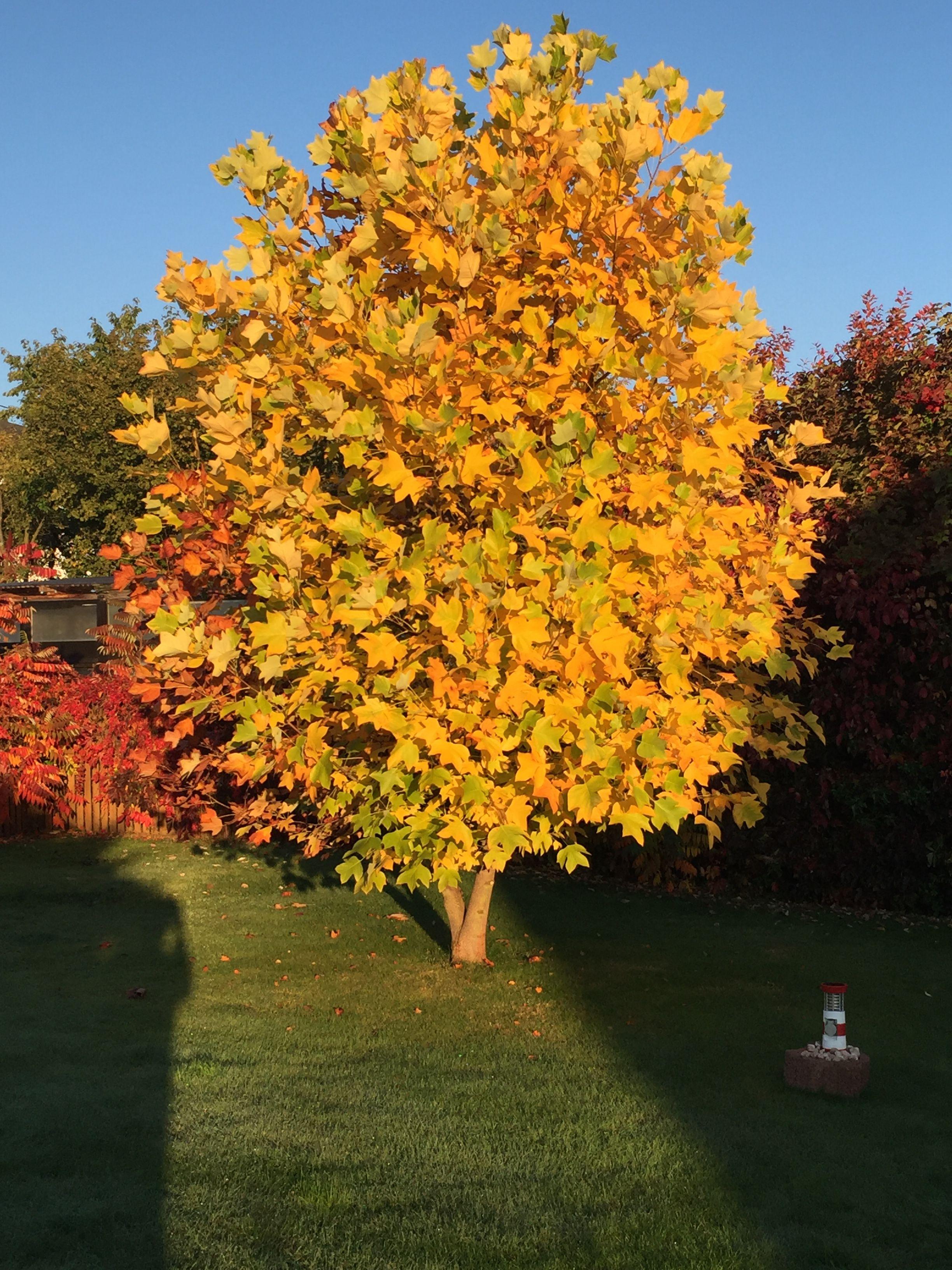 unsere Sonne im Garten Tulpenbaum