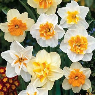 Narcissus Mixed Papillon Smelling Flowers Daffodil Bulbs Spring Perennials