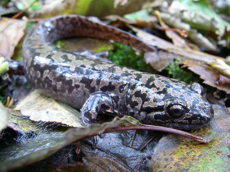 Pacific Giant Salamander Photo Credit: https://commons.wikimedia.org/wiki/File:Dicamptodon_tenebrosus_2.JPG