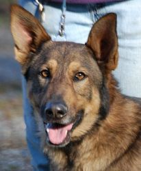 Adopt Sarge On German Shepherd Doggie That Need Your Help