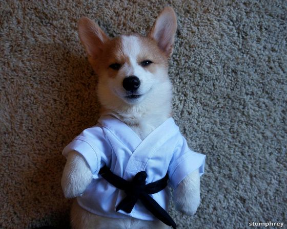 Little Karate Suit Thing Goin Here Corgi Funny Dog Pictures