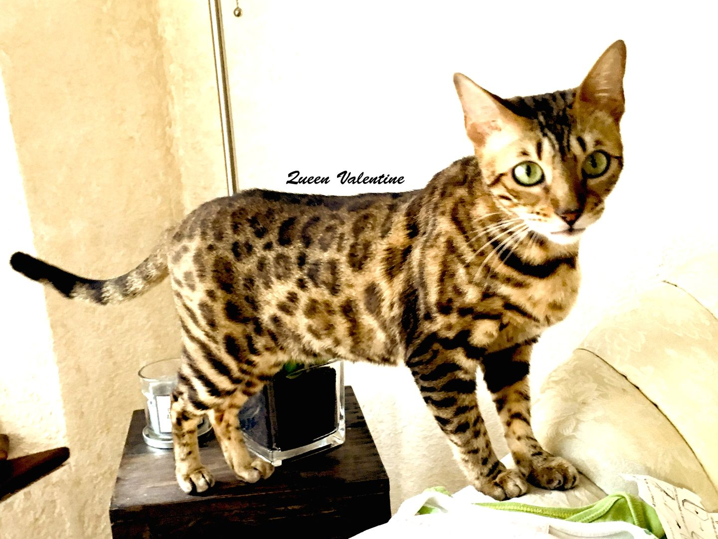Presenting Royal Glitter Bengal Cats of Wisconsin. Enjoy the ...