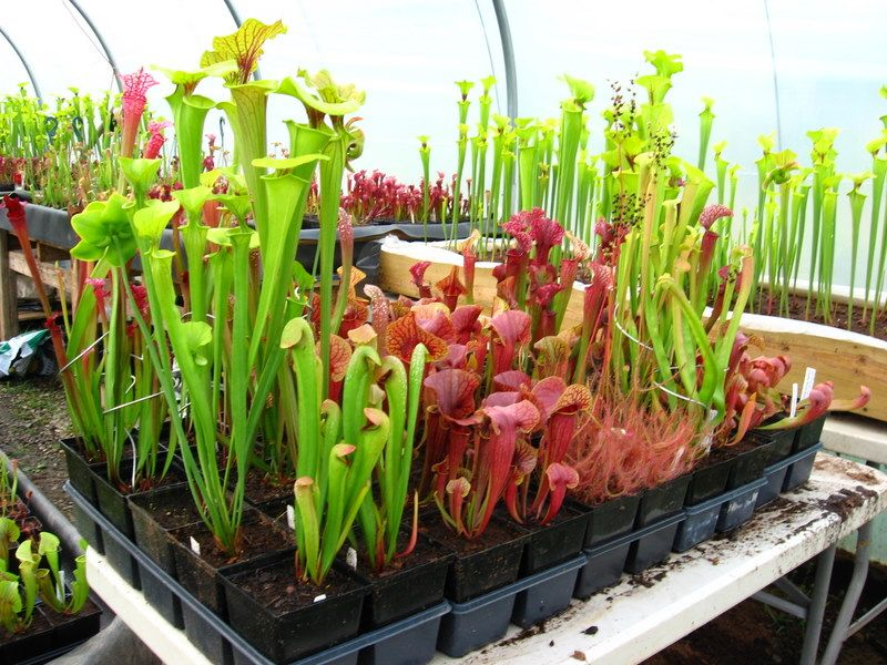 Carnivorous Plants Tropical Pitcher Plant Care Gallon Sized