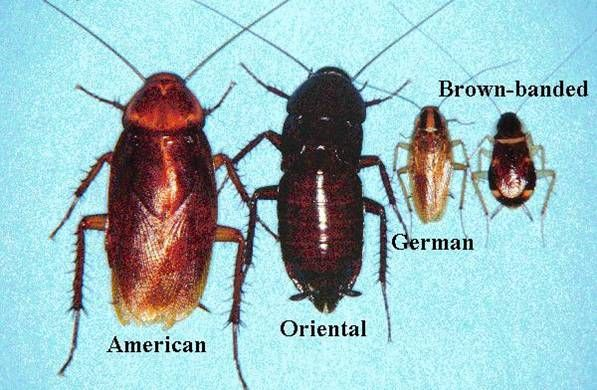 Figure 48 American, Oriental, German, and Brown-banded Cockroaches