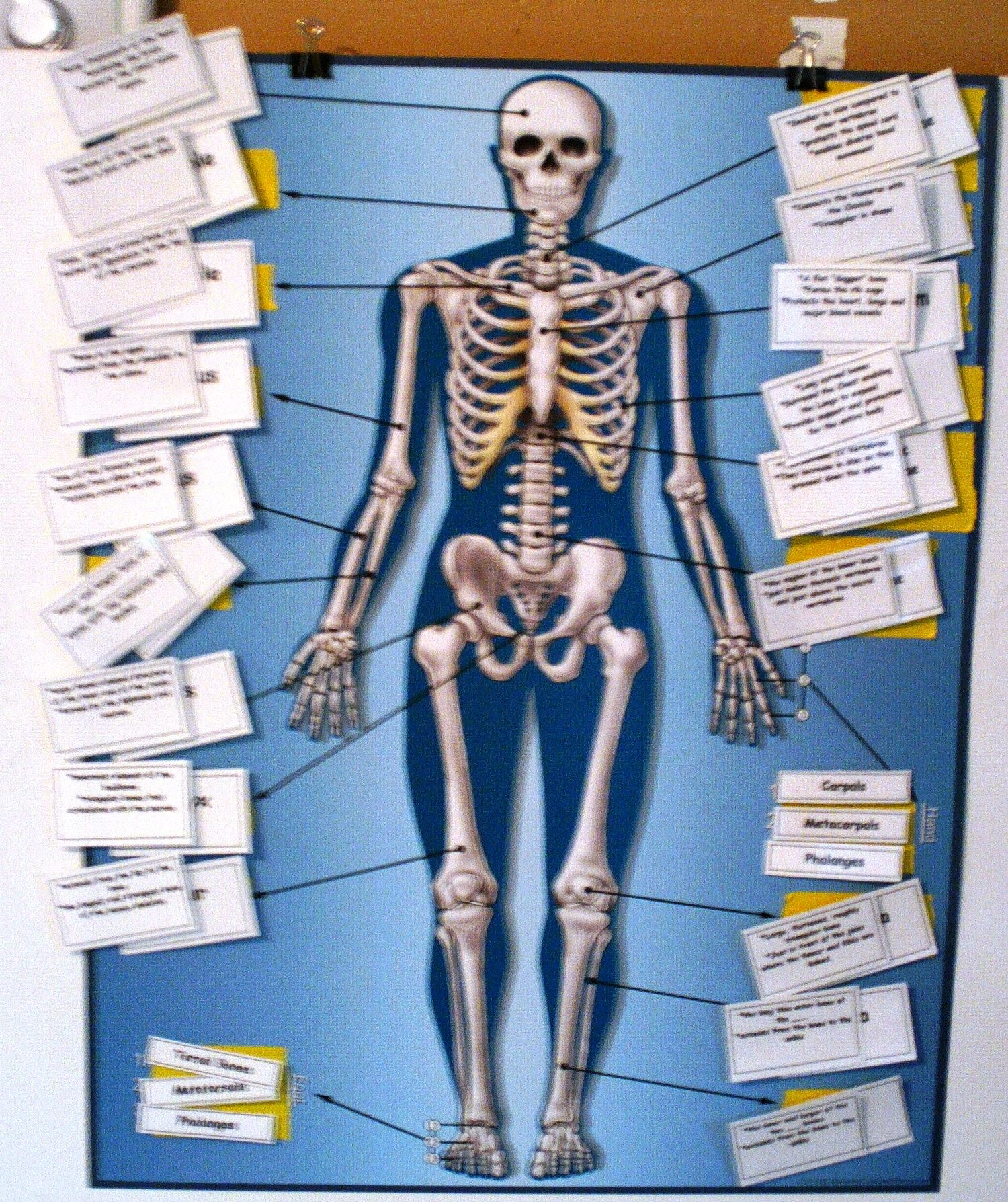 Skeletal Poster Altered With Manipulatives