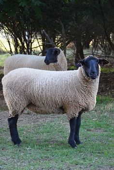 Suffolk Sheep Are A Black Faced Open Faced Breed Of
