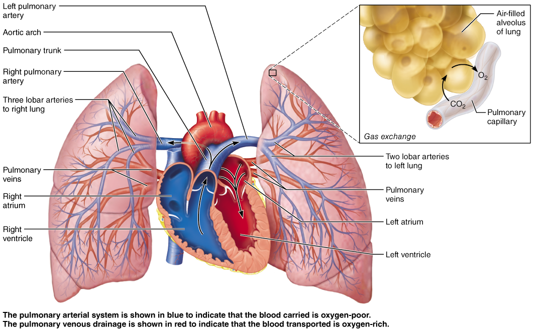 The Pulmonary Circulation Anatomy Pinterest