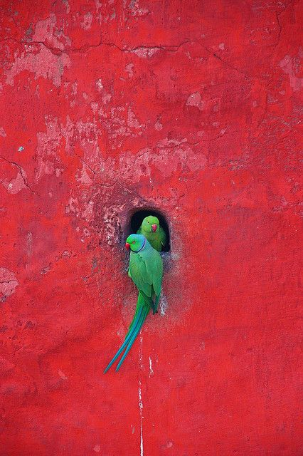 INDIA: Posing Parrot Pair in on a vermillion colored wall, Jantar Mantar, New Delhi