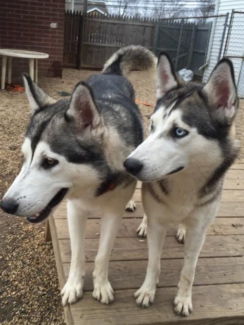 Adopt Ziggy Momma Marley On With Images Siberian Husky Dog