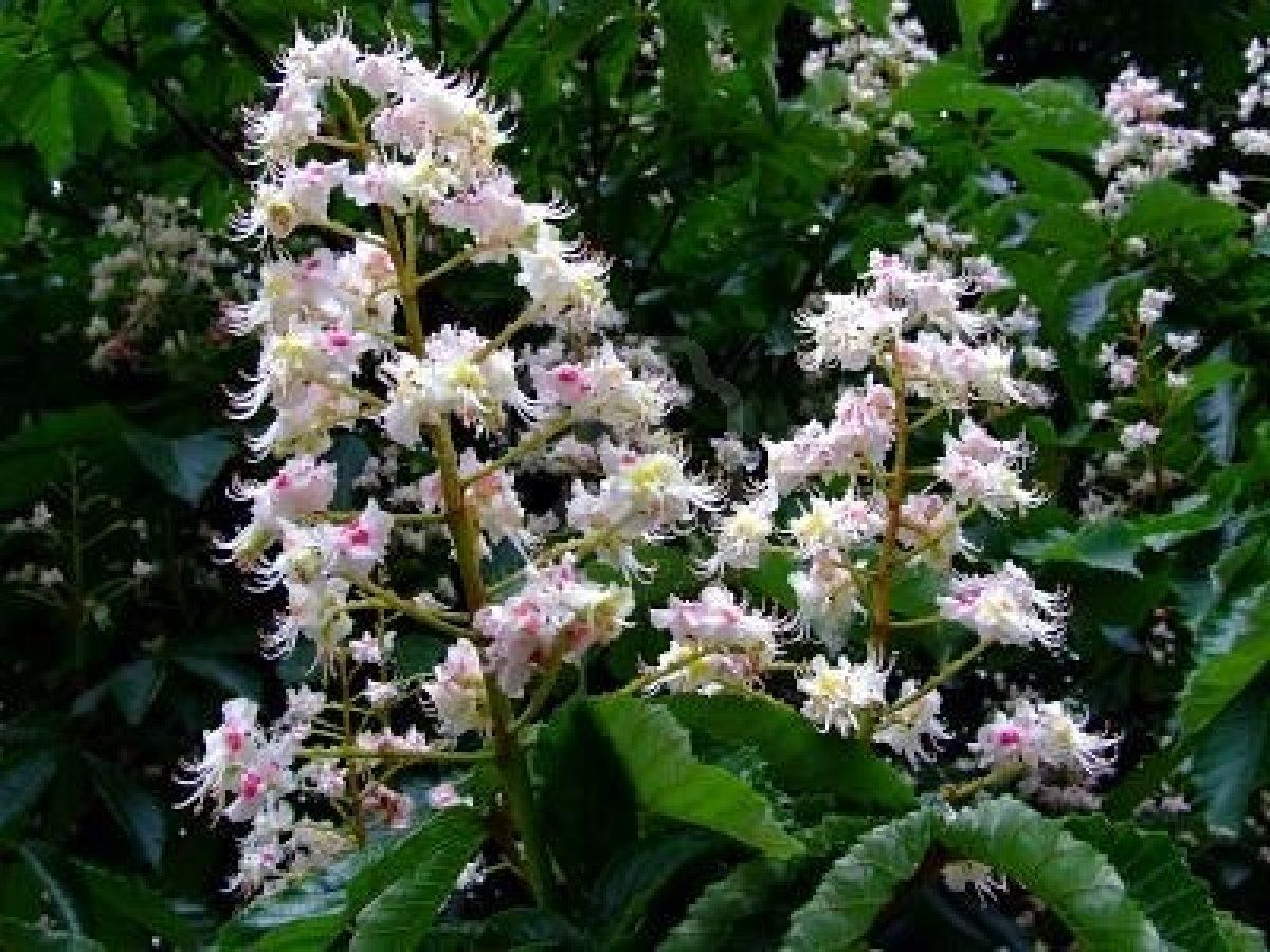 White chestnut flores de bach pinterest white chestnut white chestnut mightylinksfo